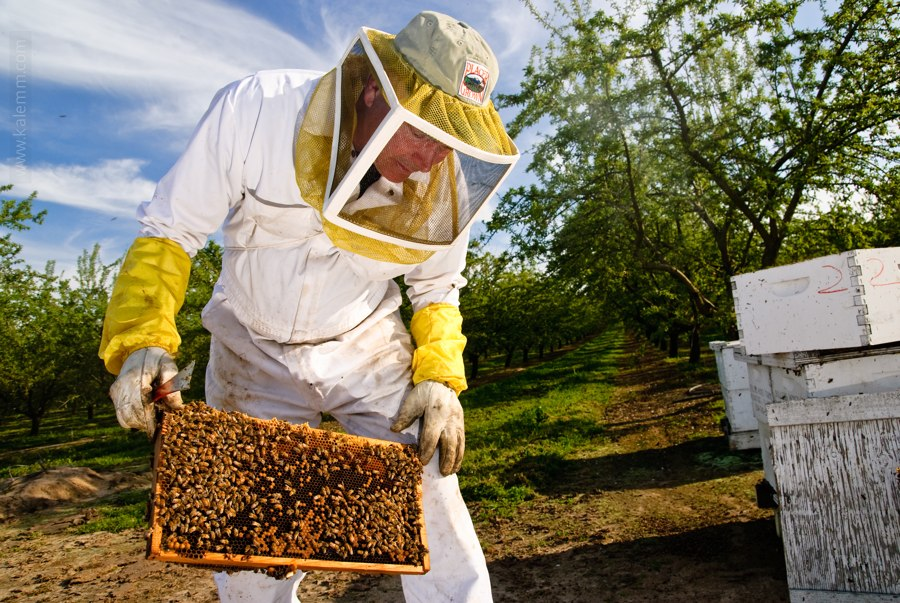 Longtime beekeper John Miller inspects one of his beehives