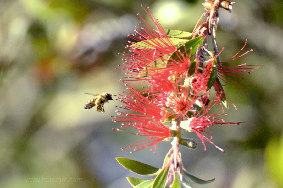 Bee buzzing around bud of colorful Callistemon tree