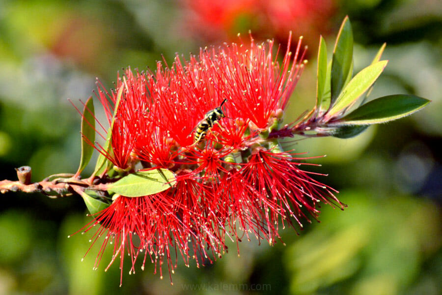Bee in bud of Callistemon tree