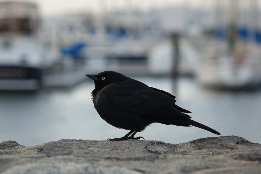 Portrait example Sony NX10, bird in San Francisco