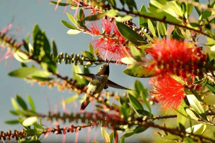 Hummingbird in Callistemon tree
