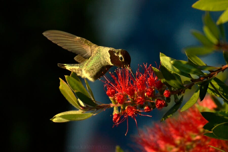 hummingbird dusting bud on a Callistemon tree