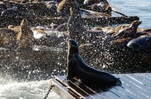 Sea lion in San Francisco's Fisherman's wharf splattering water